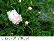 Купить «Showy peony flower and buds with dew drops on the plants», фото № 31818380, снято 21 января 2020 г. (c) easy Fotostock / Фотобанк Лори
