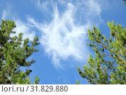 Купить «Перистые облака в обрамлении ветвей сосны», фото № 31829880, снято 25 июля 2019 г. (c) Григорий Писоцкий / Фотобанк Лори