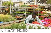 Купить «Focused African American florist examining begonia plants while gardening in glasshouse», видеоролик № 31842380, снято 28 мая 2019 г. (c) Яков Филимонов / Фотобанк Лори