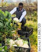 Купить «Man gathering in crops of cauliflower», фото № 31843720, снято 21 февраля 2019 г. (c) Яков Филимонов / Фотобанк Лори