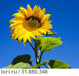 Купить «Yellow sunflower and green leaves on blue sky background», фото № 31880348, снято 5 сентября 2011 г. (c) Кекяляйнен Андрей / Фотобанк Лори