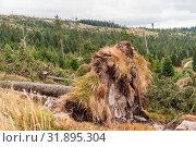 Купить «Nach einem Sturm entwurzelte Bäume eines Waldes - Sturmschäden», фото № 31895304, снято 1 июня 2020 г. (c) easy Fotostock / Фотобанк Лори