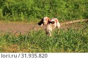 Купить «Dog breed Russian hunting spaniel outdoors portrait», фото № 31935820, снято 31 июля 2019 г. (c) Яна Королёва / Фотобанк Лори