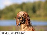 Купить «Dog breed Russian hunting spaniel outdoors portrait», фото № 31935824, снято 31 июля 2019 г. (c) Яна Королёва / Фотобанк Лори
