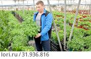 Купить «Successful skilled owner of glasshouse controlling process of growing of fresh melissa planted in pots», видеоролик № 31936816, снято 26 апреля 2019 г. (c) Яков Филимонов / Фотобанк Лори