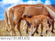 Купить «Exhausted after a bad winter feed, the mare and foal graze in the meadow.», фото № 31951672, снято 24 апреля 2019 г. (c) Акиньшин Владимир / Фотобанк Лори
