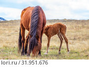 Купить «Exhausted after a bad winter feed, the mare and foal graze in the meadow.», фото № 31951676, снято 24 апреля 2019 г. (c) Акиньшин Владимир / Фотобанк Лори