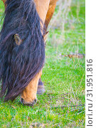 Red horse with a long mane bent down to the grass. Стоковое фото, фотограф Акиньшин Владимир / Фотобанк Лори