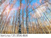 Купить «birch forest against the blue sky on a spring sunny day», фото № 31954464, снято 24 апреля 2019 г. (c) Акиньшин Владимир / Фотобанк Лори