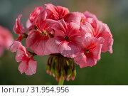 Купить «Пеларгония зональная Pelargonium zonale Willd», фото № 31954956, снято 14 июля 2019 г. (c) А. А. Пирагис / Фотобанк Лори