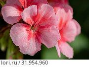 Купить «Пеларгония зональная Pelargonium zonale Willd», фото № 31954960, снято 14 июля 2019 г. (c) А. А. Пирагис / Фотобанк Лори