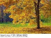 Купить «Осенний пейзаж в городском парке с золотым кленом в солнечный день», фото № 31954992, снято 17 октября 2017 г. (c) Татьяна Белова / Фотобанк Лори