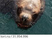 Купить «Морской лев Стеллера, или сивуч», фото № 31954996, снято 3 февраля 2019 г. (c) А. А. Пирагис / Фотобанк Лори