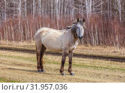 Купить «Hungry horses graze in early spring in the meadow.», фото № 31957036, снято 24 апреля 2019 г. (c) Акиньшин Владимир / Фотобанк Лори