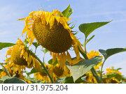 Купить «Подсолнухи на фоне голубого неба», фото № 31975204, снято 16 июля 2019 г. (c) Николай Мухорин / Фотобанк Лори