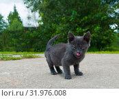 Купить «Маленький серый котенок с высунутым розовым языком», фото № 31976008, снято 4 августа 2019 г. (c) Екатерина Овсянникова / Фотобанк Лори