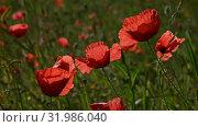Close up red poppy flowers in green field. Стоковое видео, видеограф Anton Eine / Фотобанк Лори