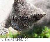 Маленький серый котенок с вытянутой лапой с острыми когтями. Стоковое фото, фотограф E. O. / Фотобанк Лори