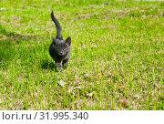 Купить «Маленький серый котенок гуляет. Солнечный день. Лето», фото № 31995340, снято 4 августа 2019 г. (c) Екатерина Овсянникова / Фотобанк Лори