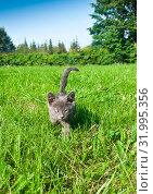Купить «Маленький серый котенок идет по зеленой траве. Солнечный день, лето», фото № 31995356, снято 4 августа 2019 г. (c) Екатерина Овсянникова / Фотобанк Лори