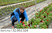Купить «Positive man gardener examining plants of geranium for better growing in greenhouse», видеоролик № 32003324, снято 26 апреля 2019 г. (c) Яков Филимонов / Фотобанк Лори