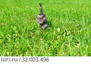 Купить «Маленький серый котенок крадется по зеленой траве. Солнечный летний день», фото № 32003496, снято 4 августа 2019 г. (c) Екатерина Овсянникова / Фотобанк Лори