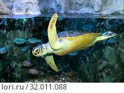 Купить «Морская черепаха. Hawksbill turtle (Eretmochelys imbricata)», фото № 32011088, снято 18 февраля 2019 г. (c) Татьяна Белова / Фотобанк Лори