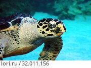 Купить «Морская черепаха. Портрет.  Hawksbill turtle (Eretmochelys imbricata)», фото № 32011156, снято 18 февраля 2019 г. (c) Татьяна Белова / Фотобанк Лори