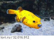Купить «Аротрон черноточечный желтый. Морская рыба», фото № 32016912, снято 4 мая 2019 г. (c) Татьяна Белова / Фотобанк Лори