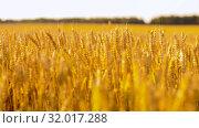 Купить «cereal field with wheat spikelets», видеоролик № 32017288, снято 4 августа 2019 г. (c) Syda Productions / Фотобанк Лори