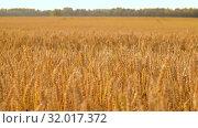 Купить «cereal field with ripe wheat spikelets», видеоролик № 32017372, снято 4 августа 2019 г. (c) Syda Productions / Фотобанк Лори