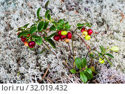 Ягоды брусники на фоне лишайников в лесу. Стоковое фото, фотограф Наталья Волкова / Фотобанк Лори