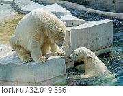 Белый  полярный медведь. Пара подросших медвежат. Стоковое фото, фотограф Галина Савина / Фотобанк Лори