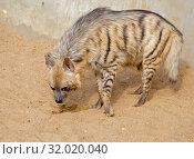 Полосатая гиена. Striped hyena. Стоковое фото, фотограф Галина Савина / Фотобанк Лори
