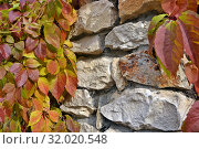Купить «Желтые и красные осенние листья плюща на фоне каменной кладки», фото № 32020548, снято 13 октября 2018 г. (c) Лариса Вишневская / Фотобанк Лори
