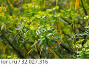 Купить «Leaves of Tabaiba salvaje (Euphorbia regis-jubae) closeup. Canary Islands», фото № 32027316, снято 16 августа 2019 г. (c) Яков Филимонов / Фотобанк Лори