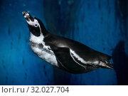 Купить «Пингвин Гумбольдта, перуанский пингвин (Spheniscus humboldti) под водой», фото № 32027704, снято 18 февраля 2019 г. (c) Татьяна Белова / Фотобанк Лори