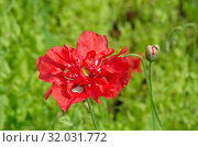 Купить «Красный махровый мак цветет в саду», фото № 32031772, снято 15 июля 2019 г. (c) Елена Коромыслова / Фотобанк Лори