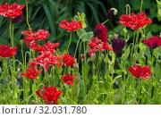 Купить «Цветущие маки в саду», фото № 32031780, снято 15 июля 2019 г. (c) Елена Коромыслова / Фотобанк Лори