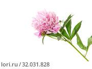Купить «bouquet of blooming peonies on white background», фото № 32031828, снято 30 мая 2019 г. (c) Peredniankina / Фотобанк Лори