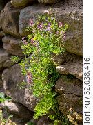 Купить «Useful plant (Fumaria officinalis) with pink flowers grows close-up», фото № 32038416, снято 28 апреля 2019 г. (c) Татьяна Ляпи / Фотобанк Лори