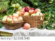 Купить «Корзина с яблоками нового урожая стоит стоит на столике на даче», фото № 32038540, снято 17 августа 2019 г. (c) Николай Винокуров / Фотобанк Лори