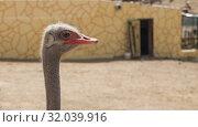 Купить «African ostrich head close-up on a brick wall background», фото № 32039916, снято 9 июля 2019 г. (c) Рожков Юрий / Фотобанк Лори