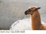 Купить «Shaggy head of a lama pet in profile, close-up on a gray wall background», фото № 32039928, снято 9 июля 2019 г. (c) Рожков Юрий / Фотобанк Лори