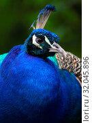 Купить «Portrait peafowl. Detail face peacock. Adult peacock. Photo from animal live.», фото № 32045896, снято 29 марта 2020 г. (c) easy Fotostock / Фотобанк Лори