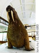 Купить «England, London, Forest Hill, Horniman Museum, The Horniman Walrus», фото № 32049680, снято 17 февраля 2020 г. (c) age Fotostock / Фотобанк Лори