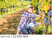 Купить «Farmer harvesting blue grapes», фото № 32059464, снято 13 сентября 2018 г. (c) Яков Филимонов / Фотобанк Лори