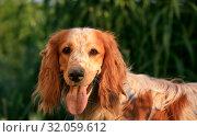 Купить «Portrait of a cute dog breed Russian hunting spaniel in nature», фото № 32059612, снято 20 июня 2019 г. (c) Яна Королёва / Фотобанк Лори