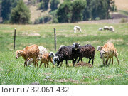 Sheep grazing in a field, Ankober, Ethiopia. Стоковое фото, фотограф Edwin Remsberg / age Fotostock / Фотобанк Лори