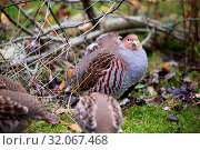 Купить «Grey partridge at the bavarian forest national park», фото № 32067468, снято 10 июля 2020 г. (c) easy Fotostock / Фотобанк Лори